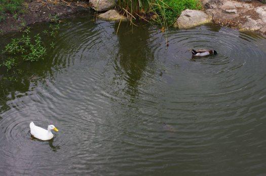 DuckDuo_CP