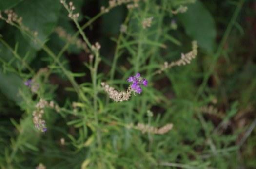 Purple plant.1